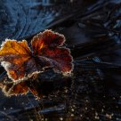 Cloudberry leaves on a frozen pond